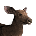Sambar deer female common