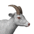 Bighorn sheep female albino