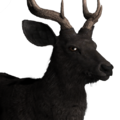 Rusa deer male melanistic