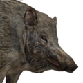 Wild boar female common