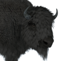 Bison male melanistic
