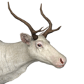 Reindeer female albino