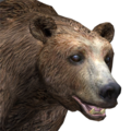 Brown bear male common v1