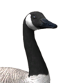 Canada goose male amber leucistic