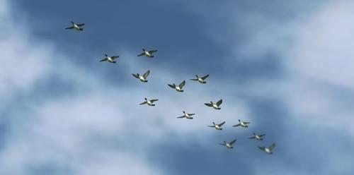 Pintail flock
