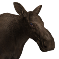 Moose female melanistic