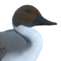 Northern pintail male common