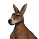 Red kangaroo male common