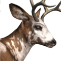 Blacktail deer male piebald