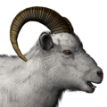 Dall sheep male albino