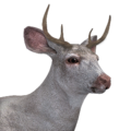 Sitka deer male albino