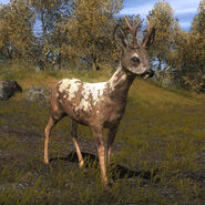 Species ROE B piebald