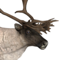 Reindeer male common