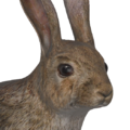 European rabbit male common