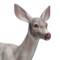Mule deer female albino