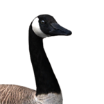 Canada goose male common