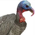 Turkey male grey