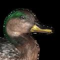Gadwall male hybrid