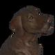 Labrador retriever chocolate male