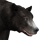 Black bear female common v1