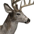 Whitetail deer male piebald
