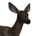 Mule deer female melanistic