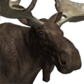 Moose male melanistic