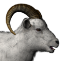 Dall sheep male common