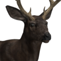 Mule deer male melanistic