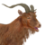 Feral goat male brown
