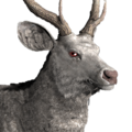 Sambar deer male albino