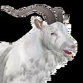Feral goat male albino