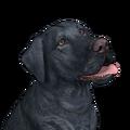 Labrador retriever black female