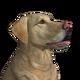 Labrador retriever yellow male