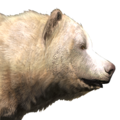 Grizzly bear male albino