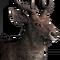 Rusa deer male common