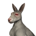 Red kangaroo male albino