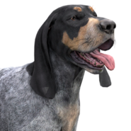 Bluetick coonhound light female
