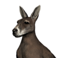 Red kangaroo female common