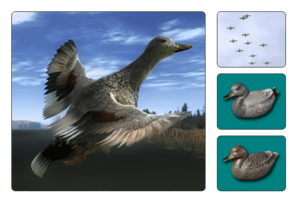 Species gadwall