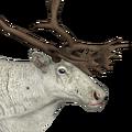Reindeer male piebald