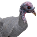 Turkey female albino