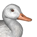 American black duck male albino