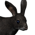Cottontail rabbit male melanistic