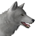 Grey wolf male leucistic
