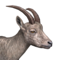 Alpine ibex female common