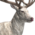 Red deer male albino