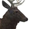 Rocky mountain elk male melanistic