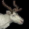 Reindeer female piebald