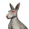 Red kangaroo female albino